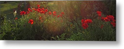 Sunset In The Poppy Garden Metal Print by Mary Wolf