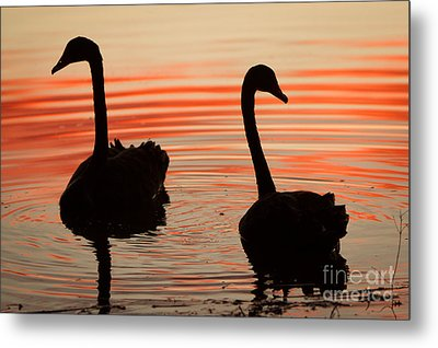 Sunset Swans Metal Print