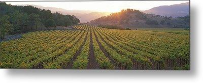Sunset, Vineyard, Napa Valley Metal Print