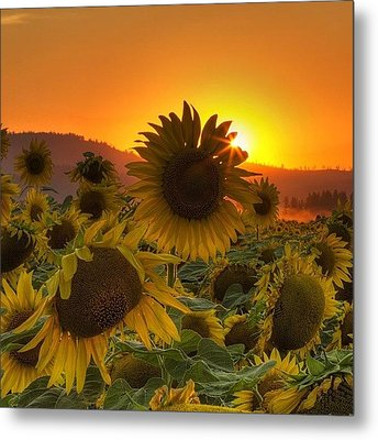 Sunst And Sunfloers  #sunset Metal Print by Mark Kiver