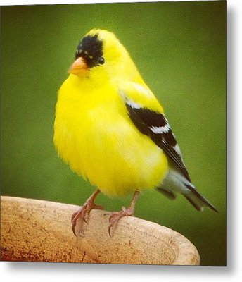 Super Fluffed Up Goldfinch Metal Print by Heidi Hermes