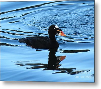 Surf Scoter Blues Metal Print by Gayle Swigart