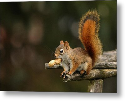 Surprised Red Squirrel With Nut Portrait Metal Print by Debbie Oppermann