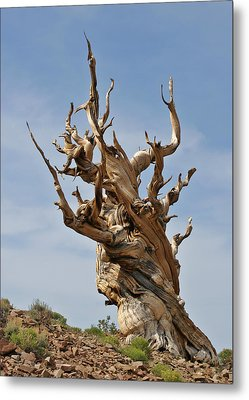 Survival Expert Bristlecone Pine Metal Print by Christine Till