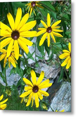 Metal Print featuring the photograph Susans by Joan Hartenstein
