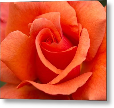 Suzanne's Rose Metal Print by Cathy Donohoue
