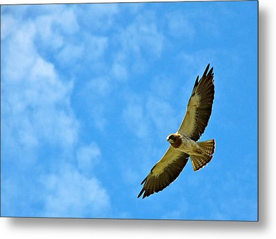 Swainson's Hawk Snake River Birds Of Prey Natural Conservation Area Metal Print by Ed  Riche