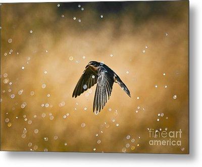 Swallow In Rain Metal Print by Robert Frederick
