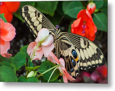 Swallow Tail Butterfly Metal Print
