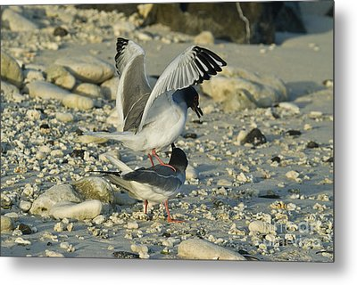 Swallow-tailed Gulls Mating Metal Print by William H. Mullins