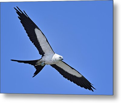 Swallow-tailed Kite Metal Print