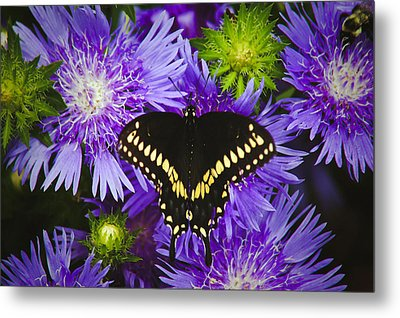 Swallowtail And Astor Metal Print