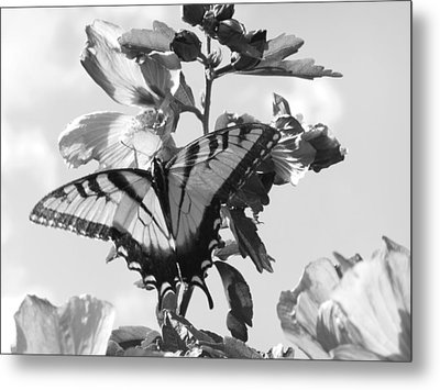 Swallowtail And Rose Of Sharon Bw Metal Print by Diannah Lynch