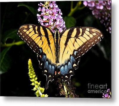 Swallowtail Beauty Metal Print by Eve Spring