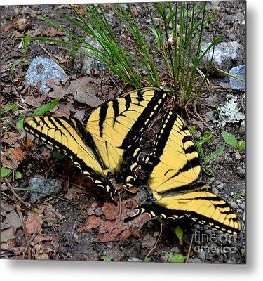 Swallowtail Butterfly Couple Metal Print by Eva Thomas