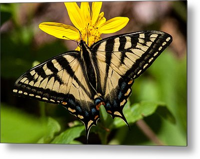 Swallowtail Butterfly Metal Print by Jack Bell