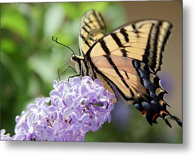 Swallowtail Butterfly On Lilac Metal Print by Ron Chilston