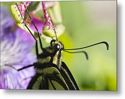 Metal Print featuring the photograph Swallowtail Butterfly by Priya Ghose