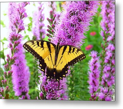 Swallowtail Butterfly Metal Print by Scott Cameron
