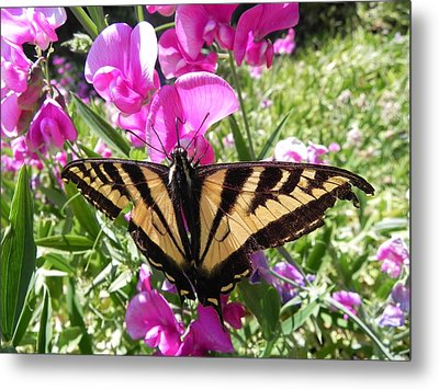 Metal Print featuring the photograph Swallowtail by Cheryl Hoyle