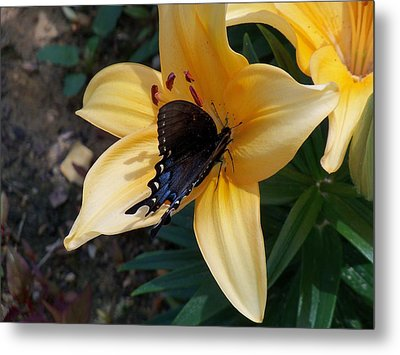 Metal Print featuring the photograph Swallowtail On Asiatic Lily by Kathryn Meyer