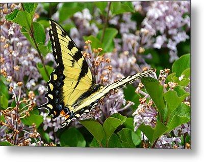 Swallowtail On Lilacs Metal Print