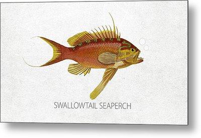 Swallowtail Seaperch Metal Print by Aged Pixel