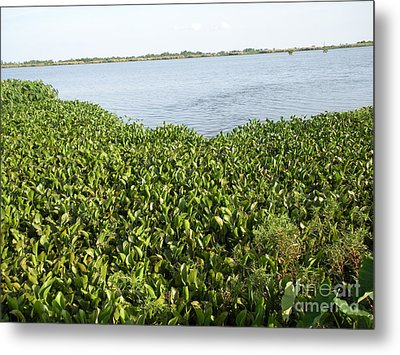 Metal Print featuring the photograph Swamp Hyacinths Water Lillies by Joseph Baril