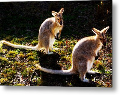 Swamp Wallabies Metal Print by Miroslava Jurcik