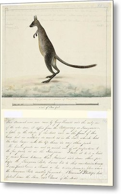 Swamp Wallaby, 18th Century Metal Print