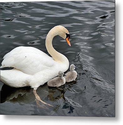 Swan And Cygnets Metal Print