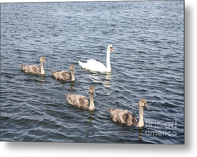 Metal Print featuring the photograph Swan And His Ducklings by John Telfer