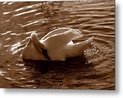 Swan By The Lake  Metal Print