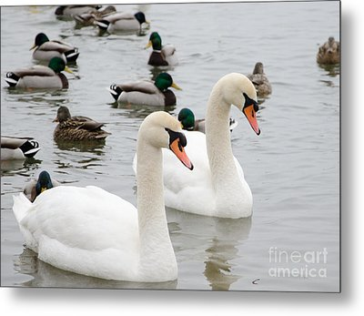 Swan Couple Metal Print