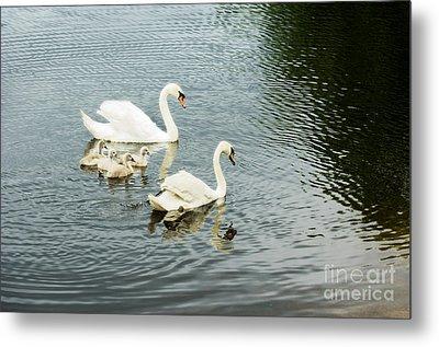 Swan Family Metal Print by Jim  Calarese