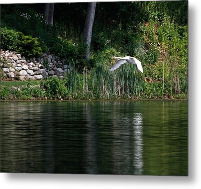 Metal Print featuring the photograph Swan In Flight by Eleanor Abramson