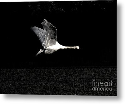 Swan In The Night Metal Print