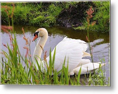 Swan In Water In Autumn Metal Print