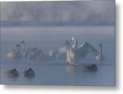 Swan Showing Off Metal Print by Patti Deters