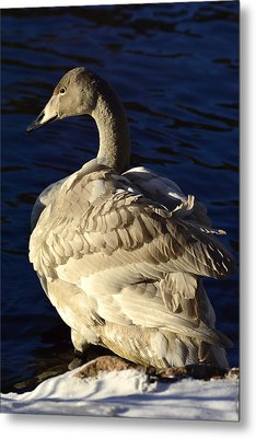 Swan Sits And Looks Out Over The Lake Metal Print by Tommytechno Sweden