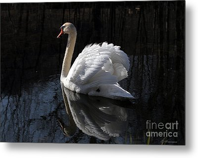 Swan With Reflection  Metal Print