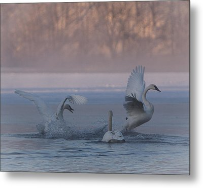 Metal Print featuring the photograph Swans Chasing by Patti Deters