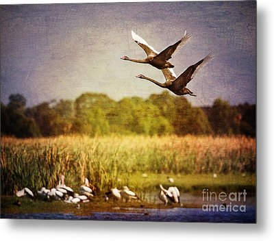 Swans In Flight Metal Print by Kym Clarke