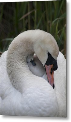 Swans Love Metal Print by Terry Cosgrave