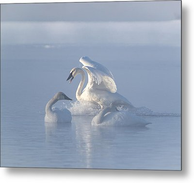 Metal Print featuring the photograph Trumpeter Swans - Three's Company by Patti Deters