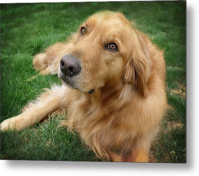 Sweet Golden Retriever Metal Print by Larry Marshall