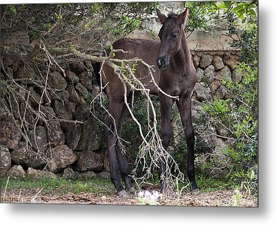 sweet heart - A tender foal wait his beloved mother  Metal Print by Pedro Cardona