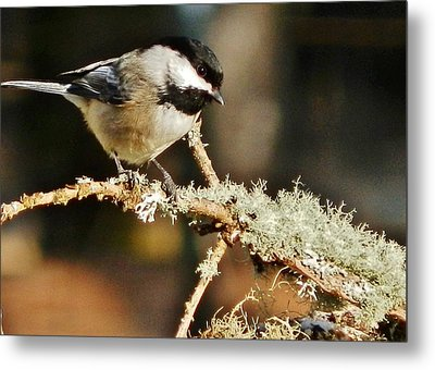 Sweet Little Chickadee Metal Print by VLee Watson