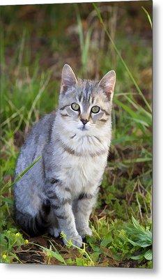 Sweet Little Tabby Kitten Metal Print by Kathy Clark