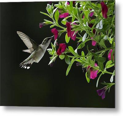 Sweet Nectar Metal Print